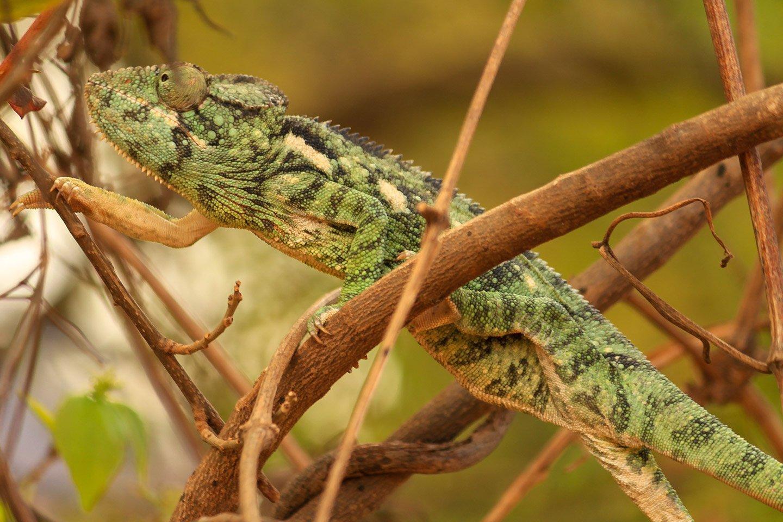 Camaleón caminando entre las ramas de un árbol, Andringitra.