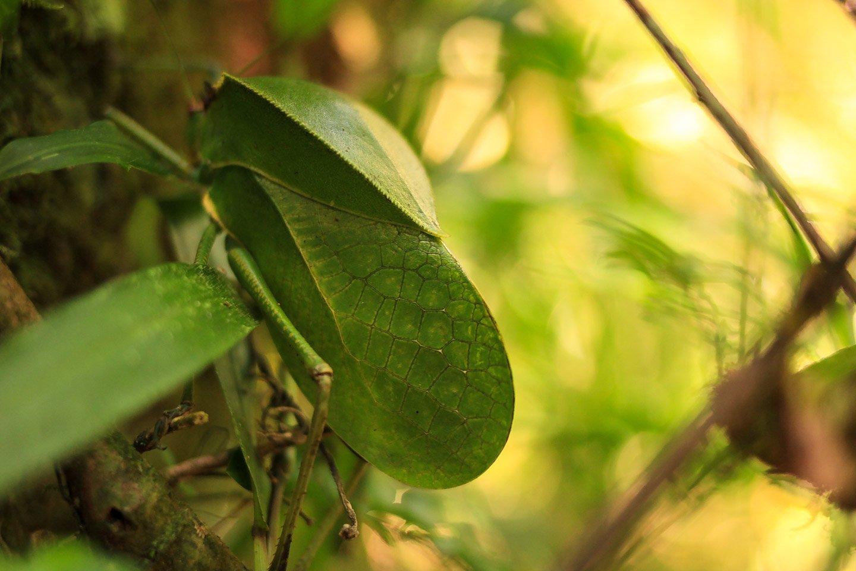 Insecto hoja, Ranomafana