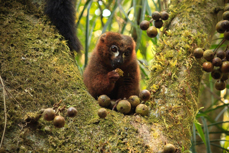 Lemur Red Fronted Brown comiendo en un árbol, Ranomafana
