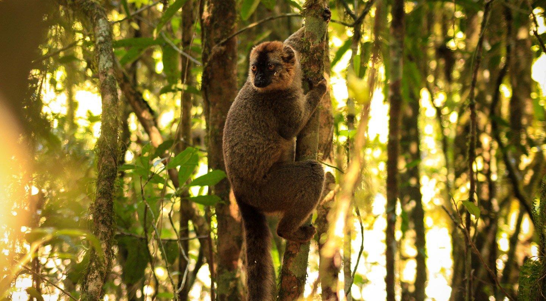Lemur Red Fronted Brown mirando desde un árbol, Ranomafana
