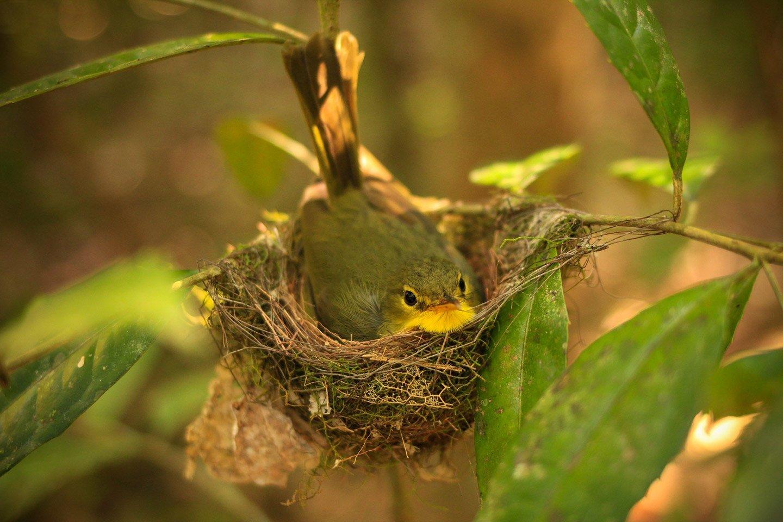 Pájaro anidando, Ranomafana