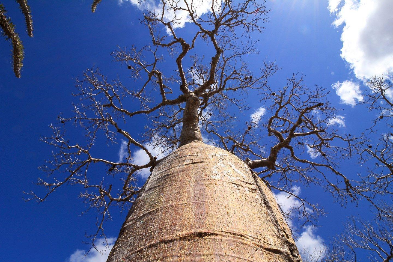 Vista inferior de un Baobab en Mangily.