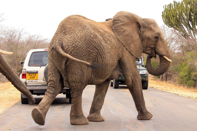 Elefantes cruzando la calle en el Parque Kruger.