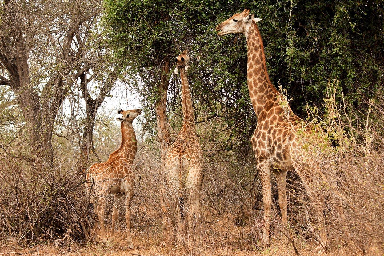 Familia de jirafas comiendo en el Parque Kruger.