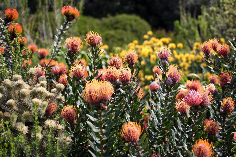 Fynbos (proteas) en Jardín Botánico de Kirstenbosch, Cape Town.