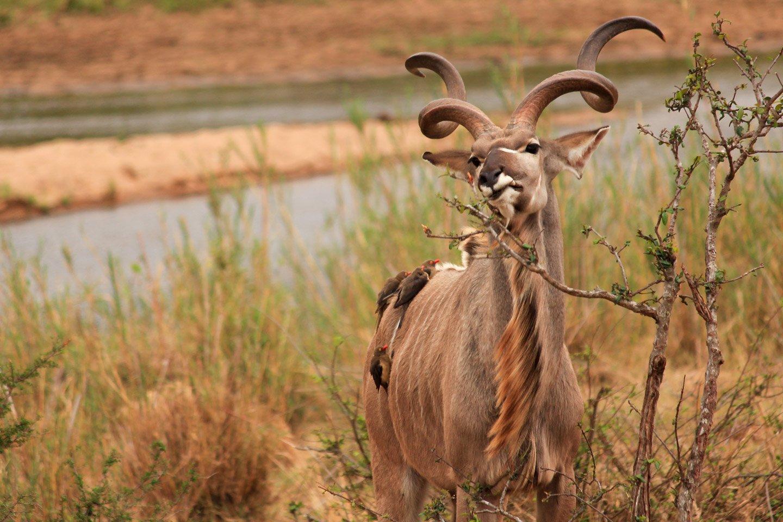 Kudu comiendo en el Parque Kruger.