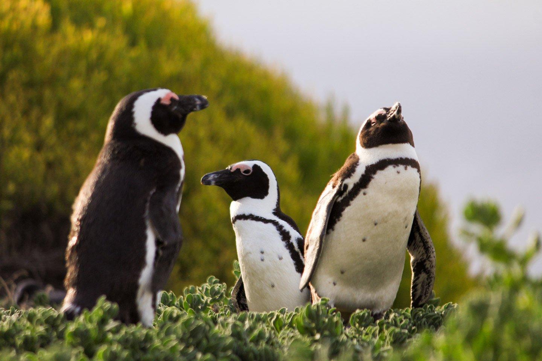 Pingüinos en Stony Point, Sudáfrica.
