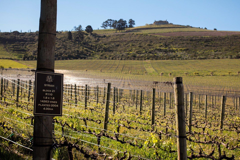 Viñas en Stellenbosch.