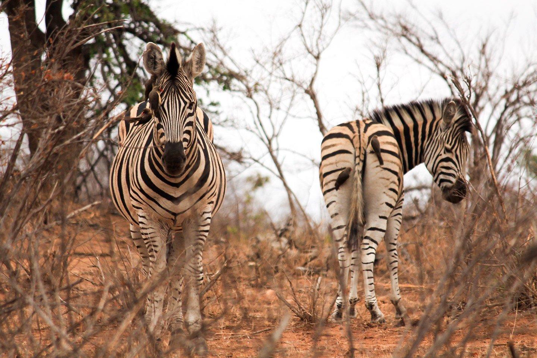 Zebras con pajaritos en el Parque Kruger.
