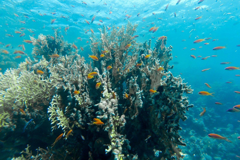 Peces en corales del Mar Rojo.